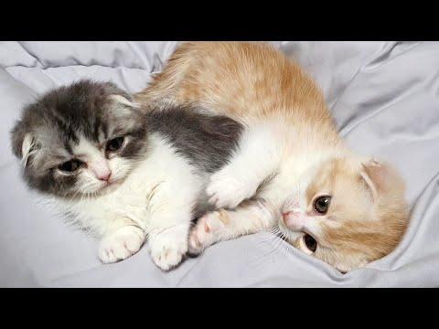 Pair of Cutest Munchkin Kittens Video