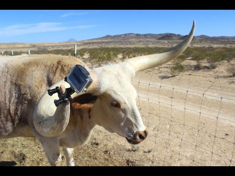 Meet Ben ( With His Longhorn Cow Cam ) And Pig Pal Javier